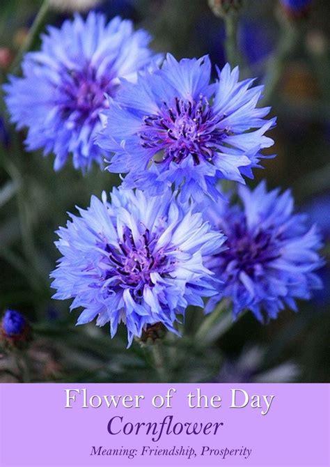 corn flower blue flower inspiration 604 best images about cornflower cottage on pinterest