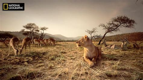Natgeo World 5 national geographic hd the lions of africa nat geo