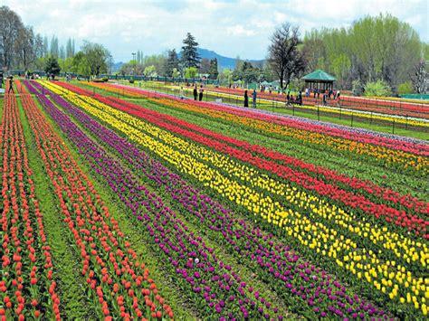 Tulip Flower Garden In India Asia S Largest Tulip Garden Open To Tourists
