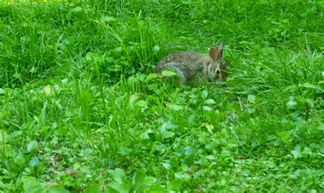 bunny in my backyard your backyard wildlife habitat hester the bunny and i