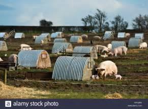 outdoor pig pig farm outdoor free range piglets field stock photo
