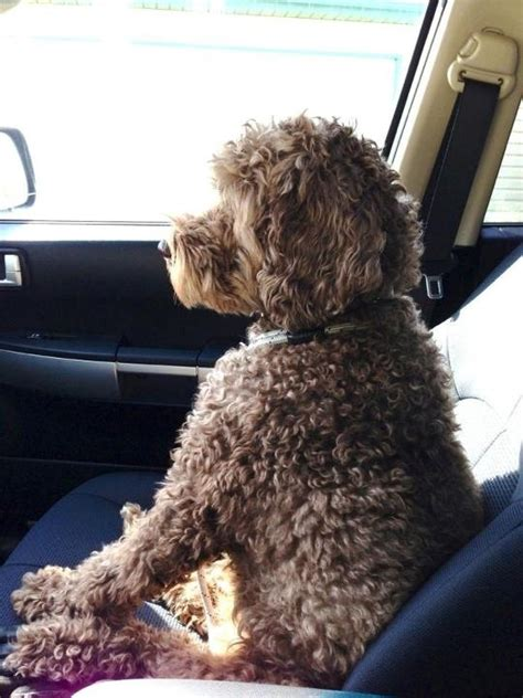 curly haired dog haircuts 15 best images about labradoodles on pinterest poodles