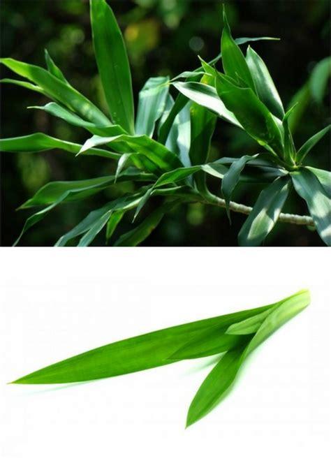 pandan suji bulmon psb 07 apa bedanya daun pandan vs daun suji dan kegunaannya