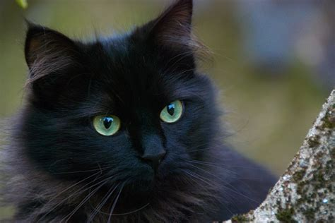 Black Cat T L Ld 86 Cm 8 scientifically proven reasons why a cat is for you metro news