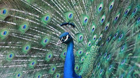 Gamis Peacock Blue peacock free gamefree