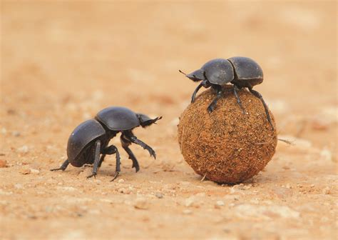 God Of Dung amazing animals dung beetles and their weaponry
