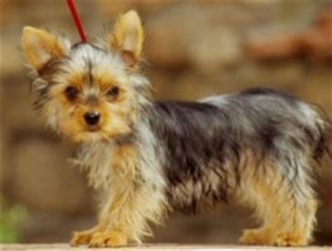 yorkie puppy tips tips for the healthy growth of your yorkie puppy the pets central