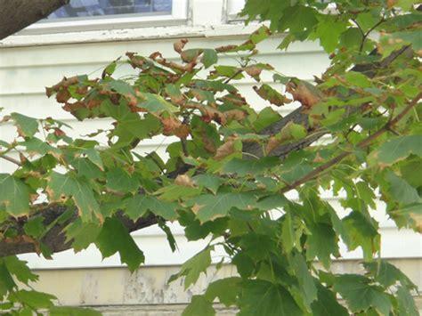 maple tree brown leaves apple tree leaves brown edges