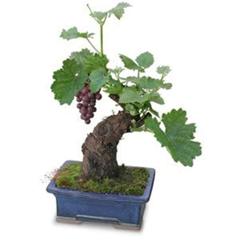 Cabernet Grapevine Bonsai It Or It by Fruit Bonsai And On