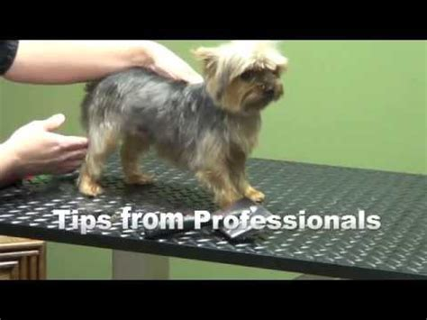 how to groom a yorkie yourself yorkie pet grooming how to give a yorkie a summer cut terriers yorkies