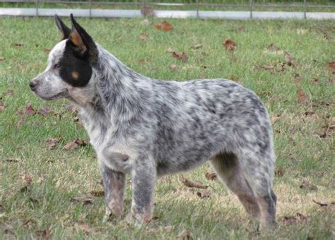 acd puppies australian cattle dogs for sale ads free classifieds