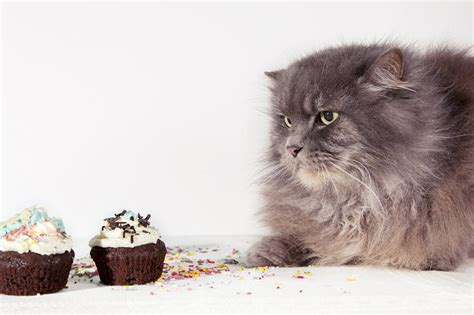 chocolate symptoms why is chocolate poisonous to cats symptoms treatment