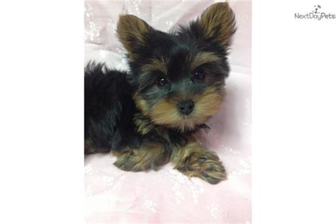 baby yorkies adoption pin baby yorkies for adoption classified ad united