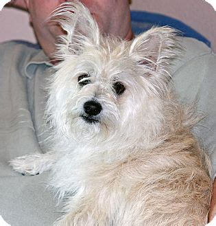 westie pomeranian mix dogbreedspicture net 522 connection timed out