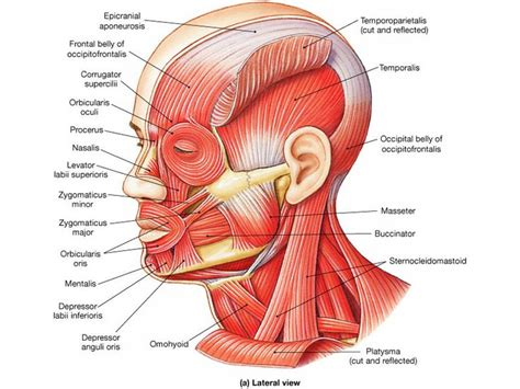 diagram of muscles in the neck and neck diagram anatomy for sculpture the