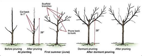 how do you prune fruit trees pruning trees lawn n garden ideas