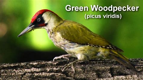 How To Make A Bird Call Out Of Paper - woodpecker green woodpecker bird call