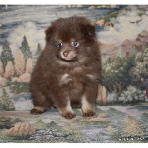 pomeranian puppies for sale in idaho halls acre pomeranian breeder in rathdrum idaho listing id 17182