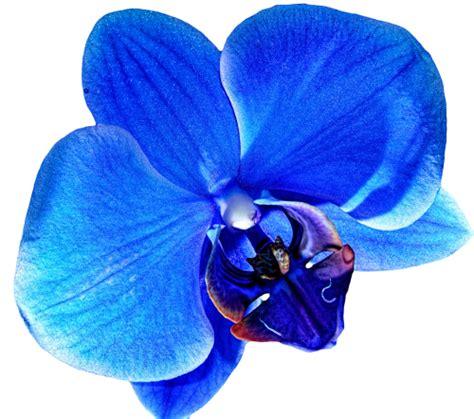 Orchid Hair Clip Sky Blue transparent orchids