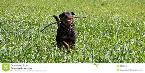 rottweiler running rottweiler running royalty free stock photos image 20996918
