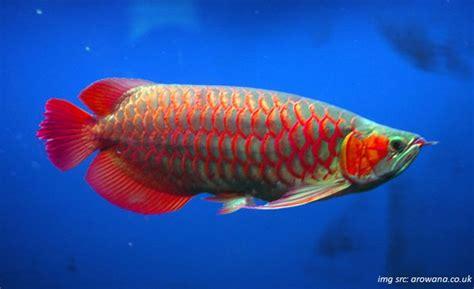 Pakan Ikan Louhan Supaya Merah cara memelihara ikan arwana tips agar warna merah arwana
