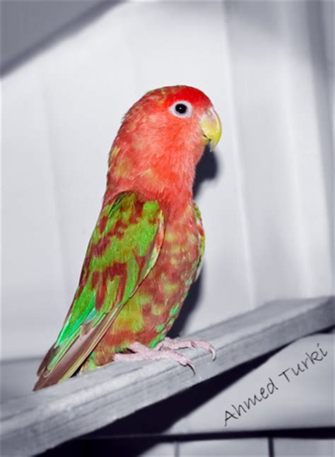lovebird color a photo on flickriver