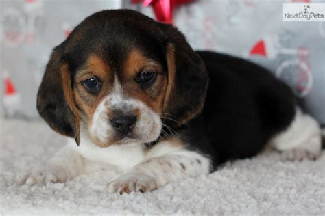beagle puppies for sale in missouri pocket beagles puppies for sale breeds picture