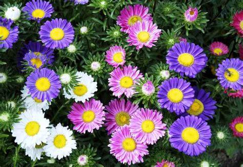 Bibit Bunga Terbaru harga bibit bunga aster terbaru maret 2018 hargabulanini