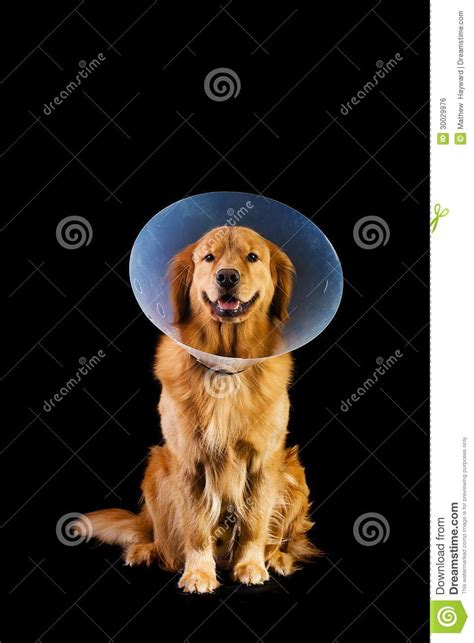 golden retriever neutering recovery golden retriver wearing cone of shame royalty free stock image image 30029976
