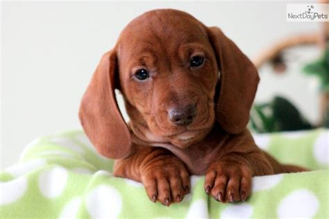 free miniature dachshund puppies free mini dachshund puppies 34 free hd wallpaper dogbreedswallpapers