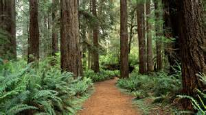 redwood forest wallpapers wallpaper cave