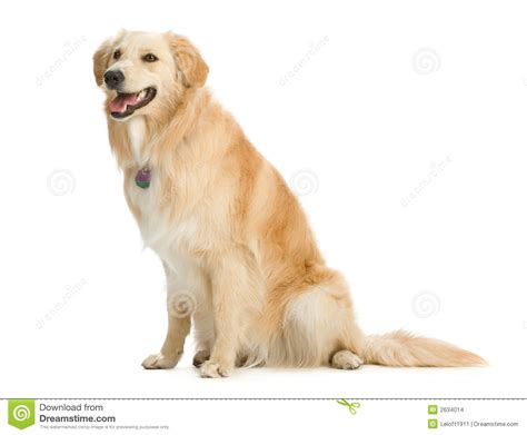 golden retriever sitting golden retriever stock images image 2634014