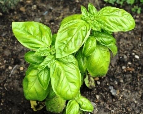 piante da giardino antizanzare piante antizanzare piante da giardino