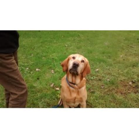 greater wisconsin golden retriever rescue steppinstone and labradors labrador retriever stud in portage wisconsin