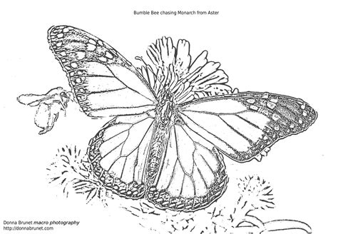 coloring pages of monarch butterflies monarch coloring page coloring home