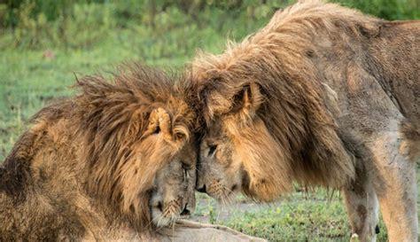 imagenes leones apareandose ecolog 237 a noticias uruguay lared21