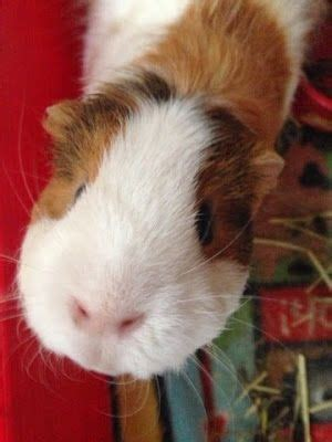 room temperature for guinea pigs guinea pigs pigs and cavy on