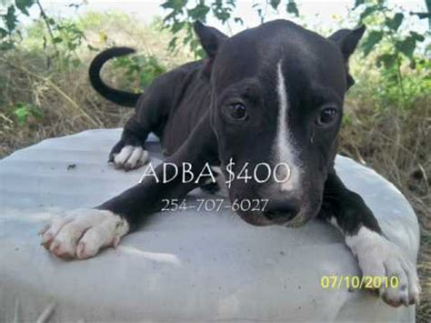 Black Friday Pit Sale Black Tri Color Blue Fawn Pit Bull Puppies For Sale In