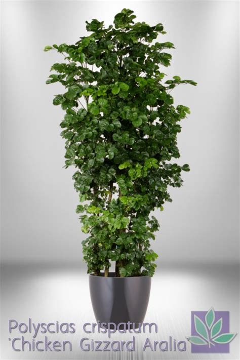 Indoor Houseplants by 17 Best Images About Ming Aralia Polyscias Plants On