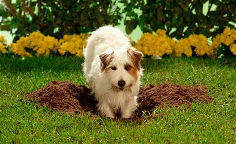 puppy digging how to stop digging holes in the yard fence gate carpet and bed dogs