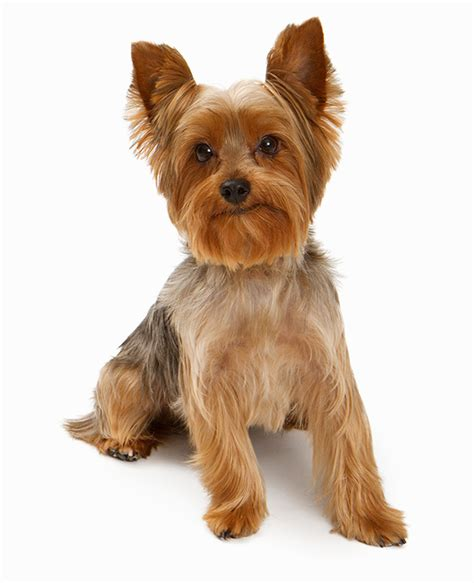yorkie ear trimming steps to trimming yorkie the yorkie coat facts care grooming haircut styles