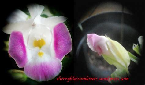 Benih Biji Bunga Torenia Blue Wishbone amazing torenia fournieri wishbone flower cherryblossom