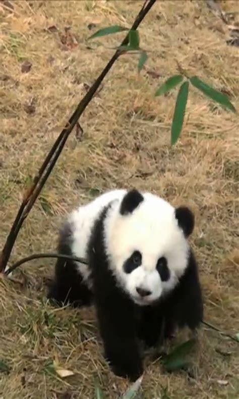 amazoncom panda wallpaper appstore  android