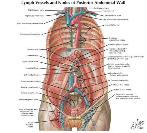 linfonodi interno coscia lymph node locations craftbrewswag info