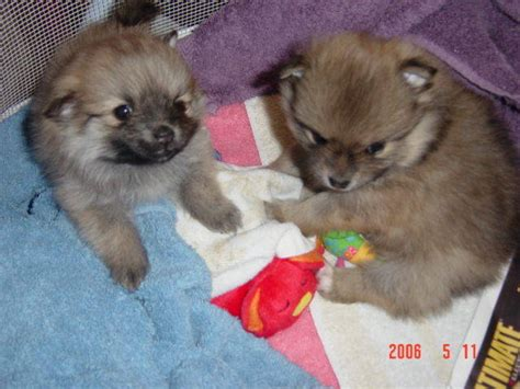 pomeranian puppies for sale el paso poms colorado akc pomeranian puppies for sale adoption from colorado springs