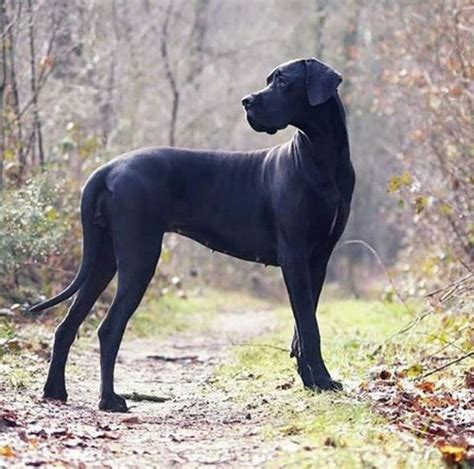 black great dane puppies 10 best ideas about black great danes on great dane breed great dane