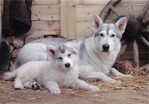 northern inuit puppies northern inuit puppies of thrones