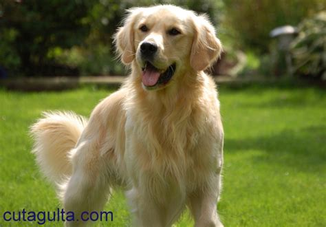 characteristics of golden retrievers 2017 mini golden retriever traits to adopt pictures images wallpapers