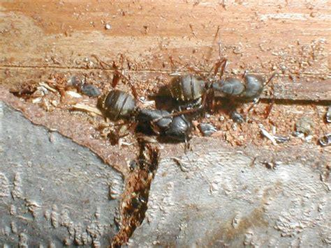 file carpenter ants jpg wikimedia commons