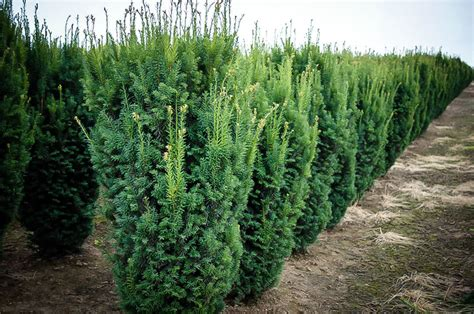 Taxus X Media Hicksii 2289 by Hicks Yew For Sale The Tree Center